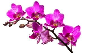 Purple_Orchidee